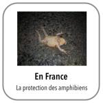bouton amphibien